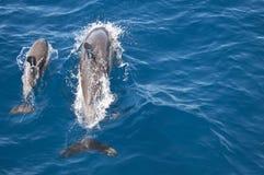 κοινό δελφίνι μωρών mum Στοκ φωτογραφία με δικαίωμα ελεύθερης χρήσης
