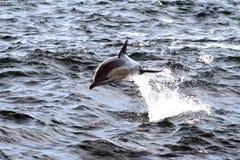 κοινό δελφίνι παραβίασης Στοκ Εικόνες