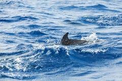 Κοινό δελφίνι που κολυμπά στον Ατλαντικό Ωκεανό Στοκ Εικόνες