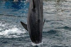 Κοινό δελφίνι που πηδά έξω από τον ωκεανό στο μπλε Στοκ Εικόνα