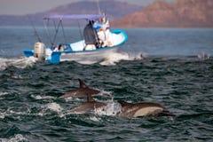 Κοινό δελφίνι που πηδά έξω από τον ωκεανό Στοκ Εικόνα