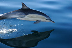 κοινό δελφίνι 2 4 Στοκ Φωτογραφίες
