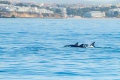 Κοινό δελφίνι bottlenose που κολυμπά πλησίον στην ακτή Albufeira, Αλγκάρβε, Πορτογαλία, Ευρώπη Στοκ Φωτογραφίες