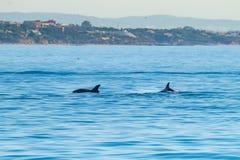Κοινό δελφίνι bottlenose που κολυμπά πλησίον στην ακτή Albufeira, Αλγκάρβε, Πορτογαλία, Ευρώπη Στοκ φωτογραφία με δικαίωμα ελεύθερης χρήσης