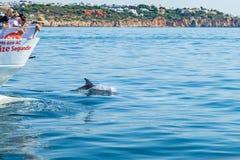 Κοινό δελφίνι bottlenose που κολυμπά πλησίον στην ακτή Albufeira, Αλγκάρβε, Πορτογαλία, Ευρώπη Στοκ εικόνες με δικαίωμα ελεύθερης χρήσης