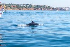 Κοινό δελφίνι bottlenose που κολυμπά πλησίον στην ακτή Albufeira, Αλγκάρβε, Πορτογαλία, Ευρώπη Στοκ φωτογραφίες με δικαίωμα ελεύθερης χρήσης