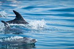 Κοινό δελφίνι bottlenose που κολυμπά πλησίον στην ακτή Albufeira, Αλγκάρβε, Πορτογαλία, Ευρώπη Στοκ Φωτογραφία