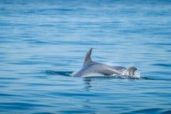 Κοινό δελφίνι bottlenose που κολυμπά πλησίον στην ακτή Albufeira, Αλγκάρβε, Πορτογαλία, Ευρώπη Στοκ Εικόνες