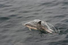 Κοινό δελφίνι (delphis Delphinus) Στοκ Εικόνες