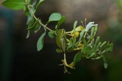 κοινό ευρωπαϊκό δασικό δέντρο hyla βατράχων arborea Στοκ Φωτογραφίες