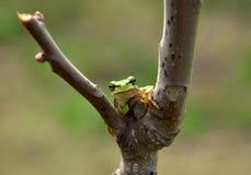 κοινό ευρωπαϊκό δασικό δέντρο hyla βατράχων arborea Στοκ Εικόνες