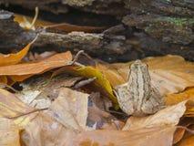 κοινό ευρωπαϊκό temporaria rana βατράχ&omega Στοκ Φωτογραφίες