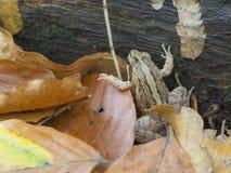 κοινό ευρωπαϊκό temporaria rana βατράχ&omega Στοκ Φωτογραφία