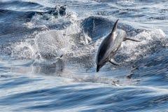 Κοινό δελφίνι που πηδά έξω από τον ωκεανό Στοκ Φωτογραφία