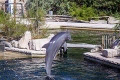 Κοινό δελφίνι bottlenose, ζωολογικός κήπος Στοκ εικόνες με δικαίωμα ελεύθερης χρήσης