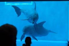 Κοινό δελφίνι bottlenose (truncatus Tursiops) Στοκ φωτογραφία με δικαίωμα ελεύθερης χρήσης