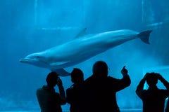 Κοινό δελφίνι bottlenose (truncatus Tursiops) Στοκ Εικόνα