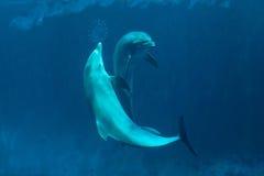 Κοινό δελφίνι bottlenose (truncatus Tursiops) Στοκ Φωτογραφία