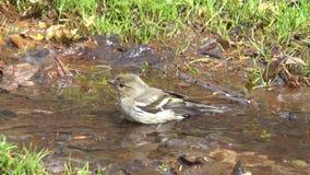 Κοινό θηλυκό ράντισμα του /Fringilla coelebs/chaffinch σε ένα ρεύμα την πρώιμη άνοιξη φιλμ μικρού μήκους