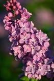 κοινό ιώδες syringa vulgaris Στοκ φωτογραφία με δικαίωμα ελεύθερης χρήσης