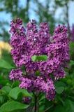 κοινό ιώδες syringa vulgaris Στοκ Φωτογραφία