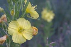 Κοινό κίτρινο λουλούδι mullein όμορφη κινηματογράφηση σε πρώτο πλάνο Στοκ Εικόνες