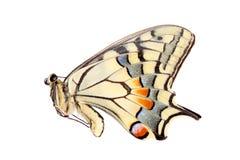 Κοινό κίτρινο swallowtail που απομονώνεται στο λευκό Στοκ φωτογραφία με δικαίωμα ελεύθερης χρήσης
