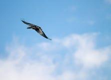 κοινό κοράκι corvus corax Στοκ Εικόνες