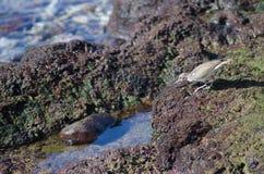 Κοινό κυνήγι hypoleucos Actitis μπεκατσινιών Στοκ Φωτογραφία