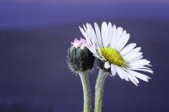 Κοινό λουλούδι μαργαριτών - perennis Bellis - μπλε Στοκ Φωτογραφίες