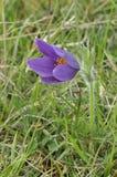 κοινό λουλούδι pasque Στοκ φωτογραφία με δικαίωμα ελεύθερης χρήσης