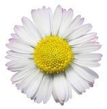 κοινό λουλούδι μαργαριτών Στοκ εικόνες με δικαίωμα ελεύθερης χρήσης
