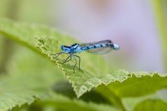 Κοινό μπλε αρσενικό cyathigerum Damselfly Enallagma σε ένα πράσινο LE Στοκ Εικόνες