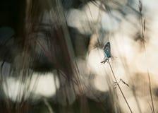 Κοινό μπλε αρσενικό Polyommatus Ίκαρος στοκ εικόνες