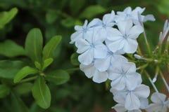 Κοινό μπλε ονομάτων auriculata Plumbago Στοκ Φωτογραφίες