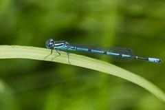Κοινό μπλε damselfly ή βόρειο bluet στη χλόη Στοκ εικόνα με δικαίωμα ελεύθερης χρήσης