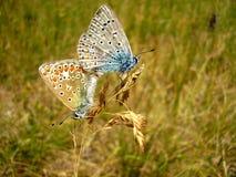 Κοινό μπλε ζευγάρωμα πεταλούδων Στοκ φωτογραφία με δικαίωμα ελεύθερης χρήσης