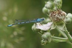 Κοινό μπλε cyathigerum Damselfly Enallagma που σκαρφαλώνει σε ένα λουλούδι Στοκ Φωτογραφίες