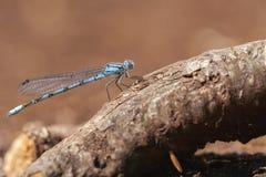 Κοινό μπλε Damselfly - μακροεντολή Στοκ Εικόνες