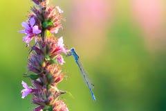 Κοινό μπλε damselfly Στοκ Φωτογραφίες