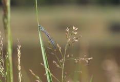 Κοινό μπλε Damselfly (cyathigerum Enallagma) κάθεται σε μια χλόη κοντά Στοκ Εικόνα
