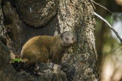Κοινό νάνο mongoose στο εθνικό πάρκο Kruger, Νότια Αφρική Στοκ Εικόνες