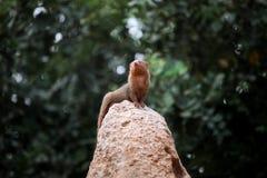 Κοινό νάνο mongoose στο ζωολογικό κήπο Στοκ Εικόνες