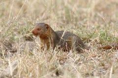 Κοινό νάνο mongoose Στοκ φωτογραφία με δικαίωμα ελεύθερης χρήσης