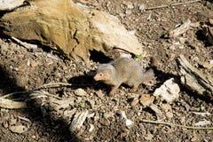 Κοινό νάνο mongoose parvula Helogale Στοκ φωτογραφία με δικαίωμα ελεύθερης χρήσης