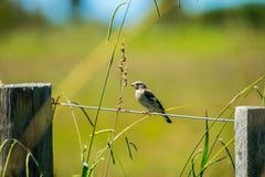 Κοινό πουλί σπουργιτιών ελεύθερη απεικόνιση δικαιώματος