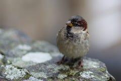 κοινό πουλί στοκ φωτογραφίες με δικαίωμα ελεύθερης χρήσης