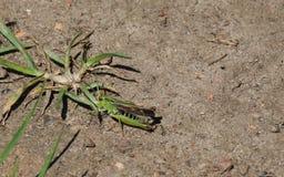 Κοινό πράσινο Grasshopper (viridulus Omocestus) Στοκ εικόνες με δικαίωμα ελεύθερης χρήσης