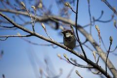 Κοινό σπουργίτι που σκαρφαλώνει σε ένα δέντρο Στοκ Φωτογραφίες