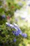 Κοινό της Χαβάης λουλούδι (Hibiscus) που απομονώνεται στη φύση Στοκ Φωτογραφία